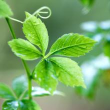 Kraut der Unsterblichkeit, Jiaogulan, Gynostemma pentaphyllum