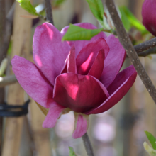 Großblumige  Magnolie, Magnolia 'Genie'