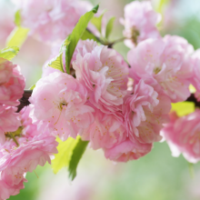 Mandelröschen, Prunus triloba  'Rosemund'