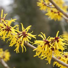 Zaubernuss in Sorten, Hamamelis japonica