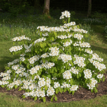 Etagenschneeball, Viburnum plicatum 'Watanabe'