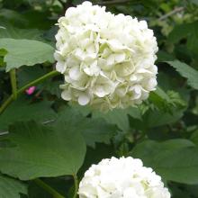 Garten-Schneeball, Viburnum opulus 'Roseum'