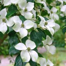 Blumenhartriegel in Sorten, Cornus kousa 'White Fountain'