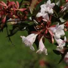 Großblütige Abelie, Abelia grandiflora 'Sherwood'