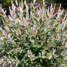 Harlekinweide, Salix integra 'Hakuro nishiki'