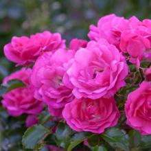Flower Carpet Rosen in Sorten, Rosa `Heidetraum´