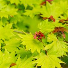 Japan. Goldahorn, Acer shirasawanum 'Aureum'