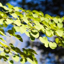 Lebkuchenbaum, Cercidiphyllum japonicum