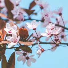 Blutpflaume, Prunus cerasifera 'Trailblazer'
