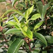 Portugiesischer Kirschlorbeer, Prunus lusitanica 'Angustifolia'