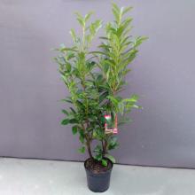 Kirschlorbeer, Prunus laurocerasus 'Caucasica'