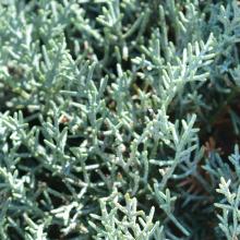 Blaue Arizona-Zypresse - Spirale, Cupressus arizonica 'Glauca'