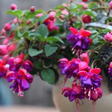 Fuchsien, Fuchsia in Arten und Sorten