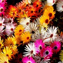 Eiskraut / Mittagsblume, Mesembryanthemum in Arten und Sorten