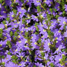 Fächerblumen, Scaevola aemula in Sorten